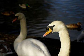 freetoedit swans nature wildlife