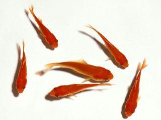 freetoedit petsandanimals fishes remixit redfishes