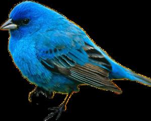 blue bird bluejay