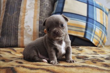 puppy little small chihuahua baby