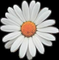 margherita fiore flower flowerpower freetoedit