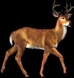 deer stag buck freetoedit