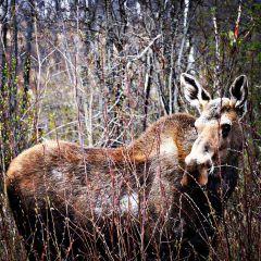freetoedit moose wild animal nature