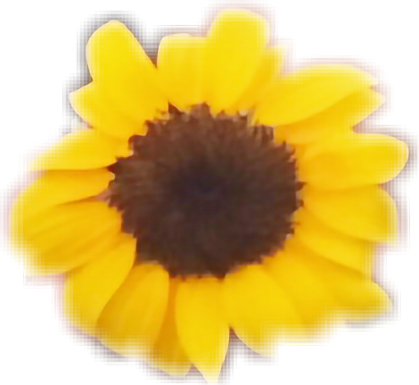 #sunflower #sunflowers